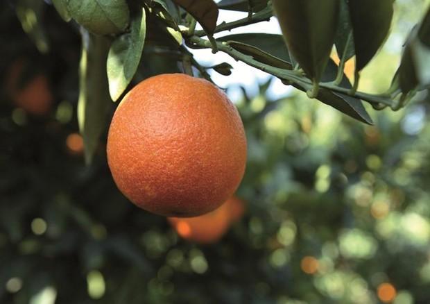 In arance e mandarini una molecola contro i chili di troppo